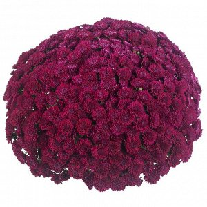 Хризантема Festive Purple