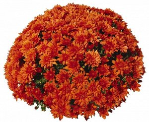 Хризантема Goal Orange