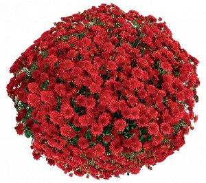 Хризантема Seaside Red
