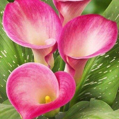 Каллы - предзаказ на весну - свободное в счете — Каллы