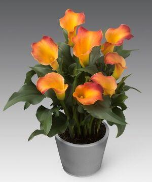 Калла Цвет: Orange. Вид: Pot. Цветки жёлто-оранжевые, крупные.  Высота растения 35-45 см.