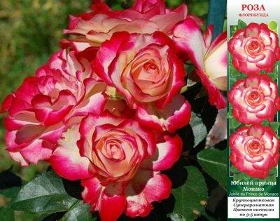 Садовая закупка-семена,саженцы,луковицы, удобрения-в наличии — Розы (Россия) — Декоративноцветущие