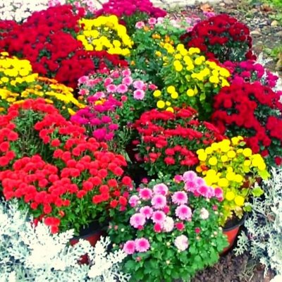 Шикарные хризантемы! — МУЛЬТИФЛОРЫ — Сад и огород