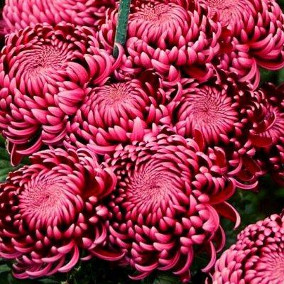 Шикарные хризантемы! — Хризантемы, те, что зимуют — Декоративноцветущие