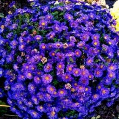 Шикарные хризантемы! — АСТРЫ — Декоративноцветущие