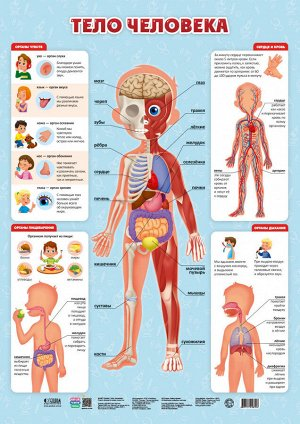 Плакат дидактический. Тело человека. 45х64 см. ГЕОДОМ