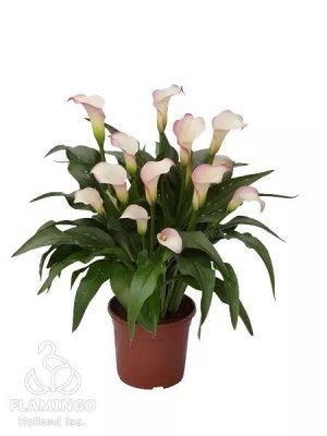 Калла Цвет: Bicolor. Вид: Pot. Высота растения 35-55 см