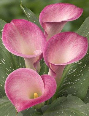 Калла Цвет: Pink. Вид: Cut. Цвет Розовый Высота растения 50-70 см