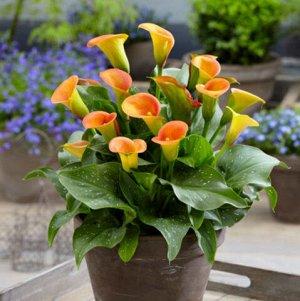 Калла Цвет: Orange. Вид:  Pot/Cut Высота: 45-55 см Цвет: Оранжевый
