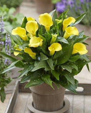 Калла Цвет: Yellow. Вид: Pot Высота растения 35- 45 см