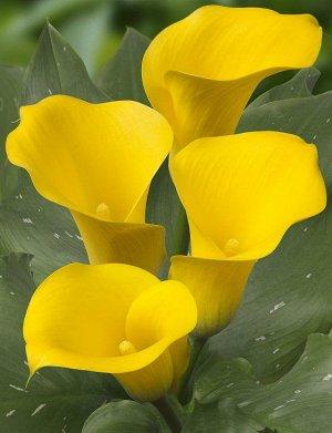 Калла Цвет: Yellow. Вид: Pot/Cut. Цвет: Желтый Высота: 40-70 см