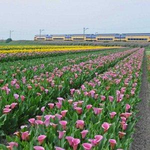 Калла Цвет: Pink. Вид: Cut.  Высота растения: 40-60 см.
