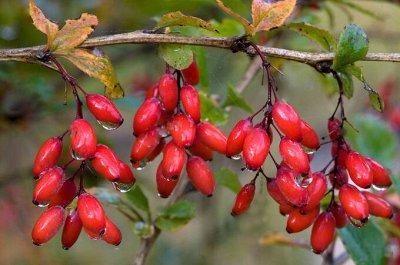 Дачный сезон! НЕ ПРОПУСТИ! Более 2000 видов семян!   — Семена Ягод — Семена ягод