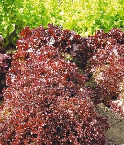 2000 видов семян для посадки! Подкормки, удобрения.     — Семена Салата от 7р! — Семена зелени и пряных трав
