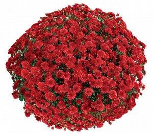 № 52 Seaside Red, цветение - август, высота 40 см, диаметр цветка 3 см