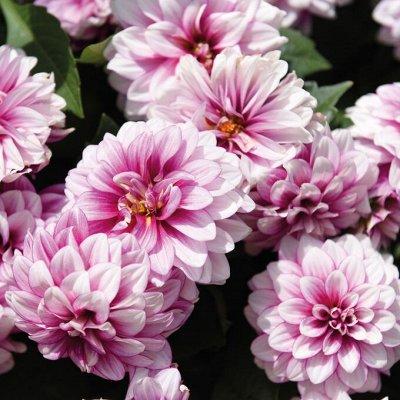 Крутые многолетние и однолетние черенки! — Шикарные георгины бордюрки, для вазонов — Декоративноцветущие