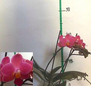 Фаленопсис Полюбившиеся всем орхидеи.  На сегодняшний день этот цветок иногда именуют «орхидеями-бабочками».  Наше растение пользуется очень большой популярностью у цветоводов, потому что оно отличает