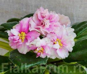 Фиалка Очень крупные махровые карминно – розовые цветы с удлинёнными лепестками и тонкой тёмной каёмочкой . Зелёная листва.