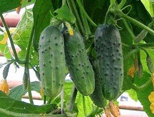 Семена Огурец Муравей