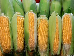 Кукуруза Краснодарский сахарный CВ 250 F1 5 г сер. ХИТ х3