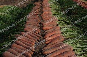 Морковь Дарина ^(1Г)