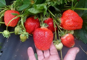 Азия ЗКС ВНИМАНИЕ!!! Растения НЕ Голландия, все районированные, адаптированы, 100 % соответствие сорту! Растения в горшках.