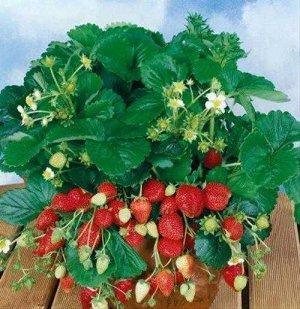 Лакомка ЗКС ВНИМАНИЕ!!! Растения НЕ Голландия, все районированные, адаптированы, 100 % соответствие сорту! Растения в горшках.