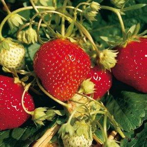 Любава ремонтантная ЗКС ВНИМАНИЕ!!! Растения НЕ Голландия, все районированные, адаптированы, 100 % соответствие сорту! Растения в горшках.