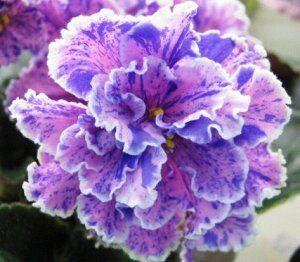 ПТ Луиза Крупные, полумахровые розовые цветы с ярким синим фентази из точек, штрихов и ручейков и белым волнистым кантом. Розетка из средне зелёных листьев. Может давать не фантазийыне спорты.