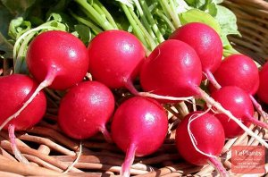 Редис Жара Редис «Жара» формирует корнеплоды округлые, диаметром не более 3−3,5 см, массой до 25−28 г. Поверхность красно-малинового цвета. Сорт характеризуется повышенным содержанием витамина С. Мяко