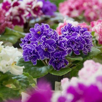 Цветочный дворик: фиалки, стрептокарпусы, бегонии и другие — ФИАЛКИ. Детки и Стартеры. — Декоративноцветущие