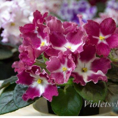 Цветочный дворик: фиалки, стрептокарпусы, бегонии и другие — ФИАЛКИ. Укорененные листы — Декоративноцветущие