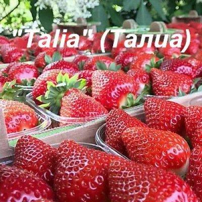 Шикарная Клубника из питомников Италии! — КЛУБНИКА ПОЗДНИЕ СОРТА ШИКАРНЫЕ КУСТЫ — Плодово-ягодные