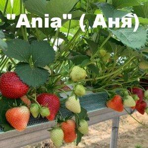 Клубника «Ania» (Аня)
