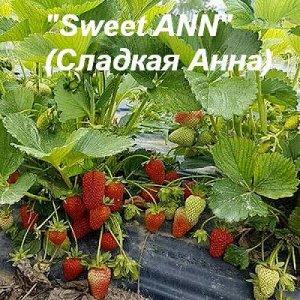 Клубника«Sweet ANN»  (Сладкая Анна)