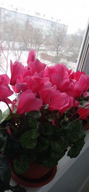 Роза Целендорфа супергигант