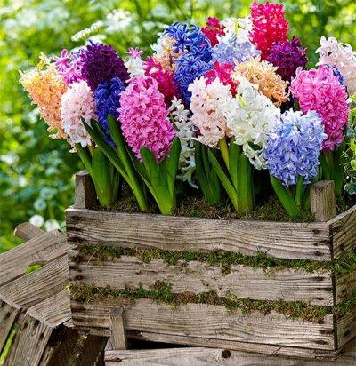 Полная Ликвидация склада комнатные и садовые цветы от 5 руб  — Луковицы гиацинтов_ликвидация — Декоративноцветущие