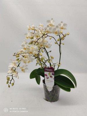 Орхидея фаленопсис Soft cloud