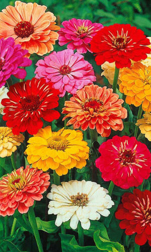 2000 видов семян для посадки! Подкормки, удобрения. — Цветы однолетние Цинния — Семена однолетние