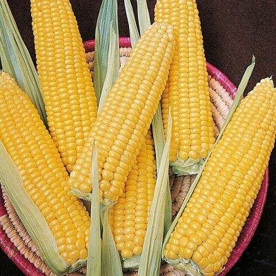Мудрый дачник🌱 Акция! Лук севок от 69 рублей! Голландия  — Кукуруза — Семена овощей