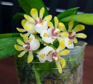 Gastrochilus japonicus x sib