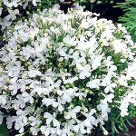 Семена Лобелия Белая Леди 48401 ДС ц/п