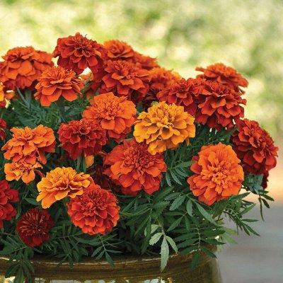 Семена Азии, Мязина, Сибирский сад — все в наличии! — Цветы — Семена цветов