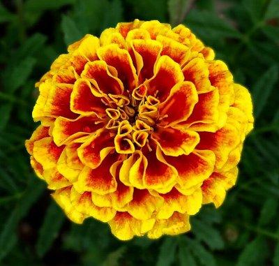 Цветущие саженцы в наличии! Идеальное качество! — Однолетние и двулетние цветы — Семена однолетние
