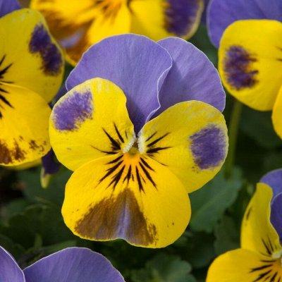 Цветущие саженцы в наличии! Идеальное качество! — Виола — Семена двулетние