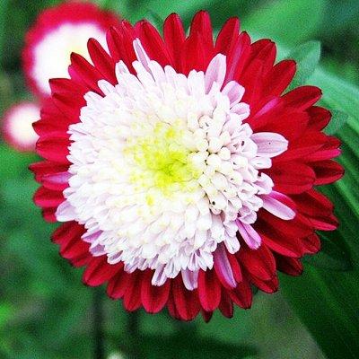 Цветущие саженцы в наличии! Идеальное качество! — Астры — Семена многолетние