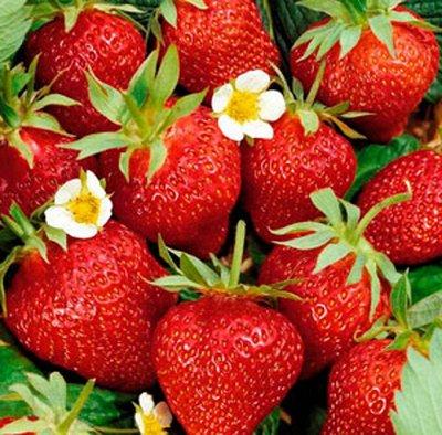 Цветущие саженцы в наличии! Идеальное качество! — Клубника, земляника — Семена ягод