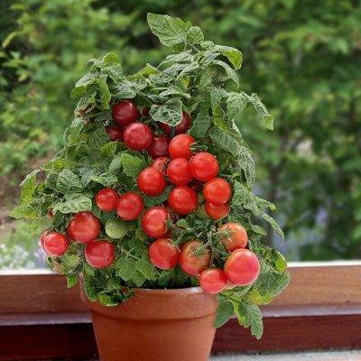 """Большой выбор семян! Саженцы! Всё в наличии — Томаты """"Балконное чудо"""" 😍"""