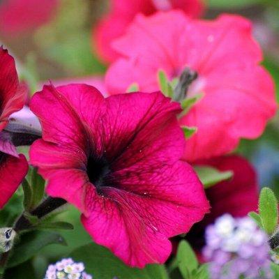 Цветущие саженцы в наличии! Идеальное качество! — Петуния — Семена однолетние