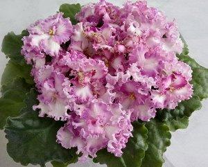 Фиалка Крупные белые цветы в форме анютины глазки, с широкой сиренево - розовой  каймой. Край цветка гофрированный, иногда появляется зелёная кайма по краю. Ярко зелёные, слегка волнистые листья. (Опи